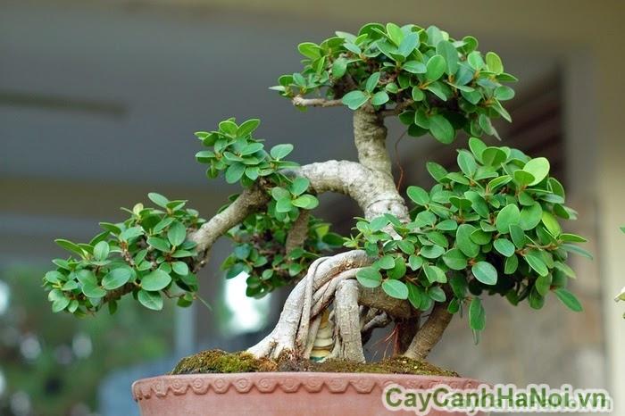Cho thuê cây bonsai trang trí
