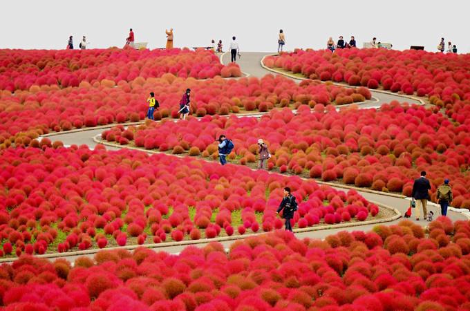 Công viên Hitachi là một trong những điểm tham quan nổi tiếng bậc nhất ở tình Ibaraki và toàn quốc, mỗi năm thu hút hàng triệu du khách ghé thăm.