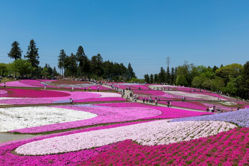 Công viên Shibazakura, Nhật Bản