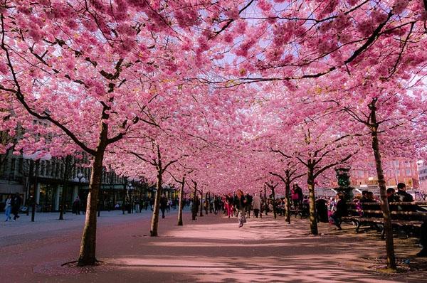 Hoa đào nở rộ tại Sumida