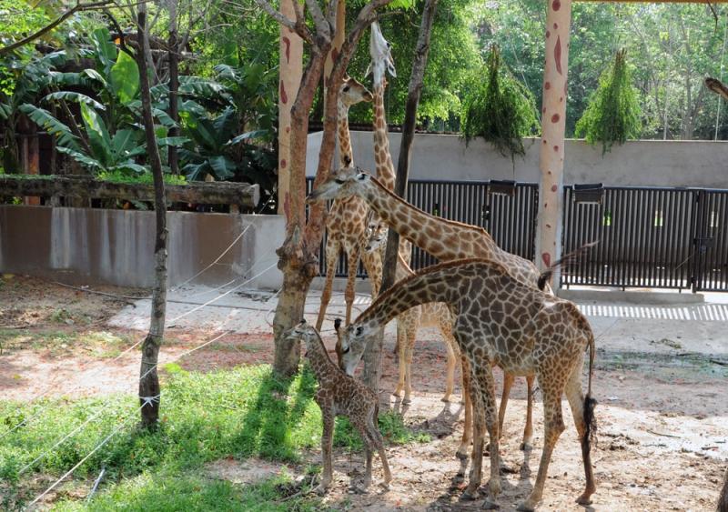 Những chú hươu cao cổ tại vườn thú