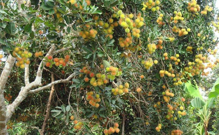 Trái cây tại cù lao Tân Quy
