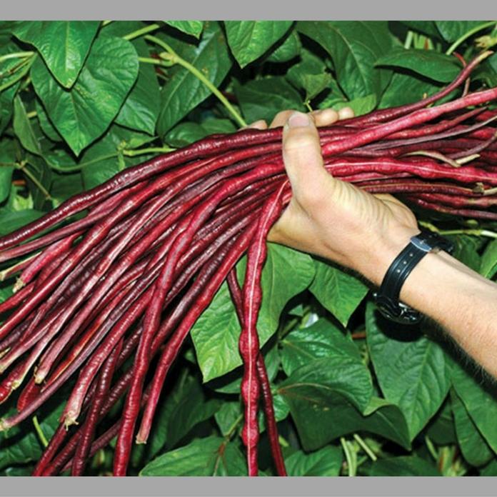 Hạt giống đậu đũa đỏ