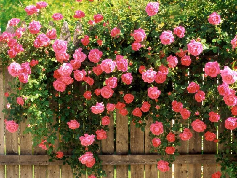 Hoa hồng leo