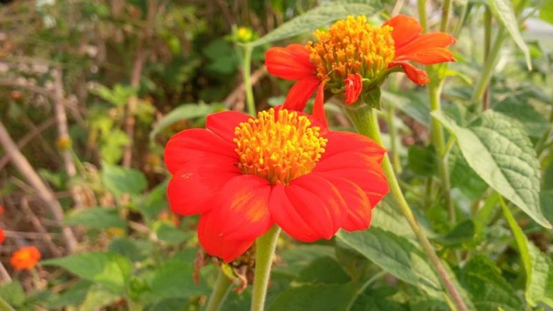 Cúc đẹp dưới nắng