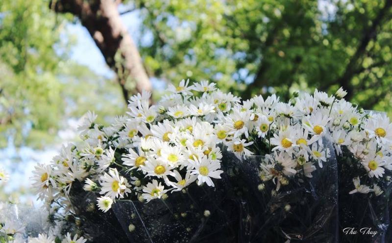 Không phải tự nhiên mà người ta nói: Đông Hà Nội đẹp nhất mùa cúc họa mi!