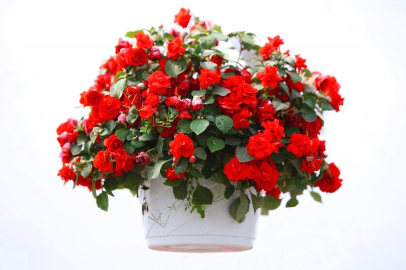 Cây hoa hải đường rất hợp phong thủy với phòng làm việc của Thần Nông