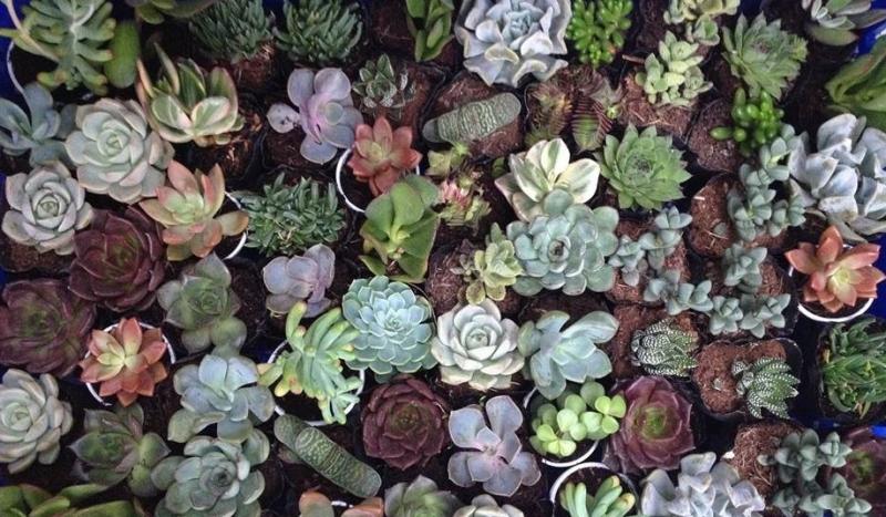 Vườn sen đá