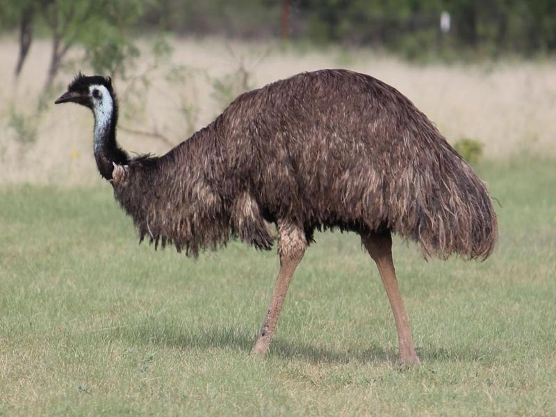 Đà điểu Châu Úc
