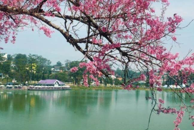 Hoa anh Đào nở hên Hồ Xuân Hương