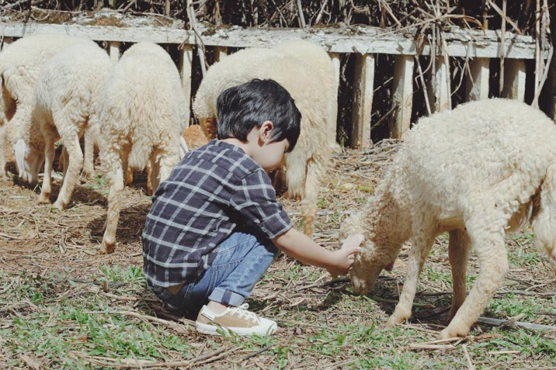 Ngoài những chú chó dễ thương bạn còn có thể được chơi đùa với những chú cừu nhỏ