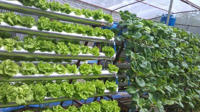 Dịch vụ trồng rau Đà Nẵng thủy canh
