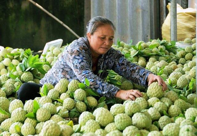 Mùa thu hoạch na dai Huyền Sơn