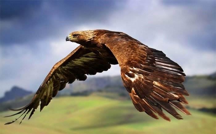 Đại bàng vàng bay với tốc độ tối đa 321km/h