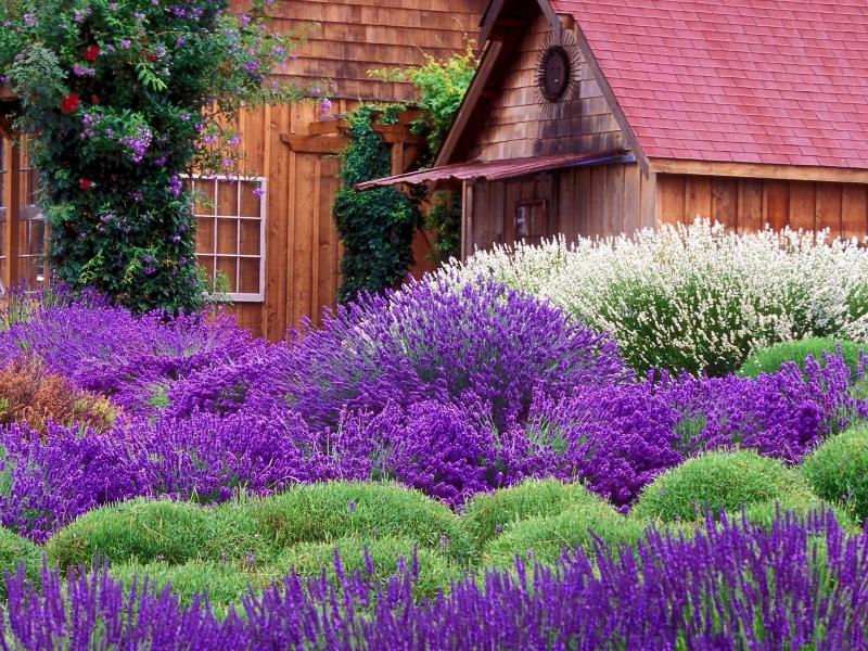 Ngôi nhà gỗ nổi bật với rừng hoa tím ngắt