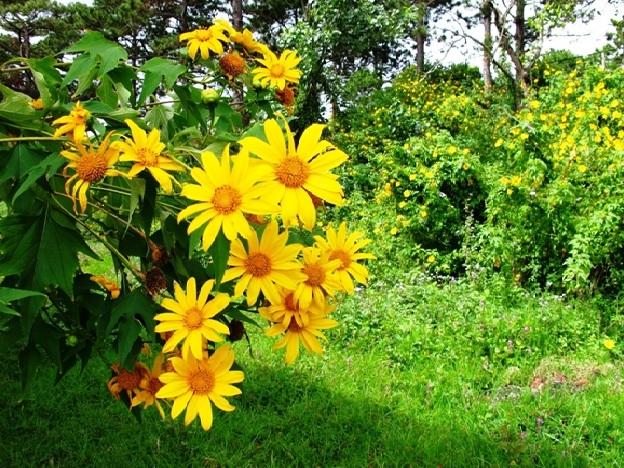 Hoa dã quỳ Đà Lạt (nguồn: tiin.vn)
