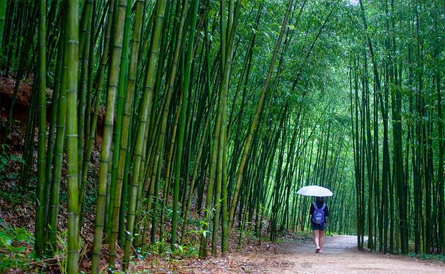 Damyang nổi tiếng với những rừng tre trúc rộng lớn