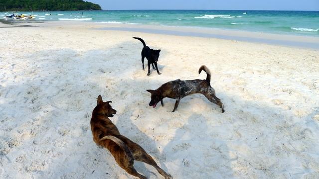 Chó Phú Quốc di chuyển uyển chuyển