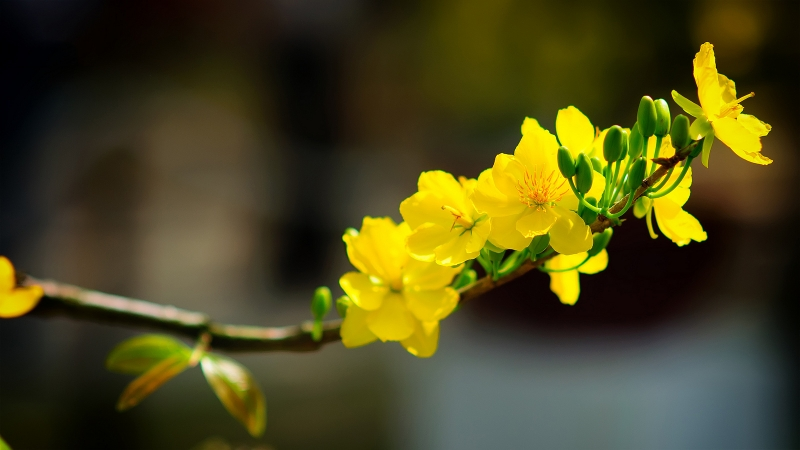 Mai vàng được yêu thích ở miền Trung và miền Nam
