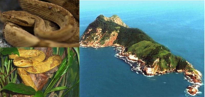 Đảo rắn và rắn hổ lục đầu vàng.