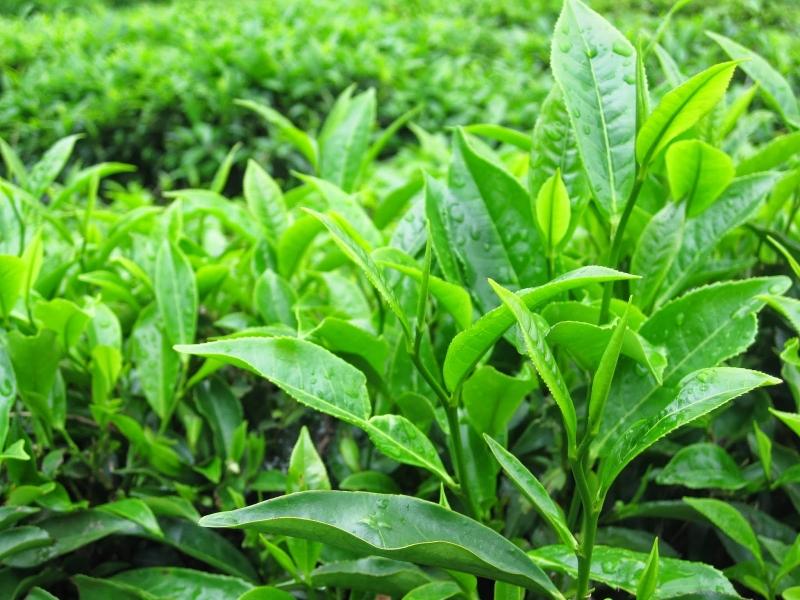 Tinh dầu được chiết xuất từ lá trà xanh