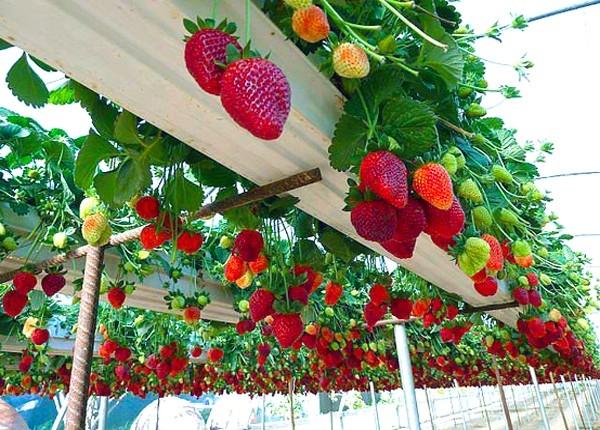 Đến với Mộc Châu, bạn đừng quên dành thời gian tới thăm những vườn dâu tây trĩu quả