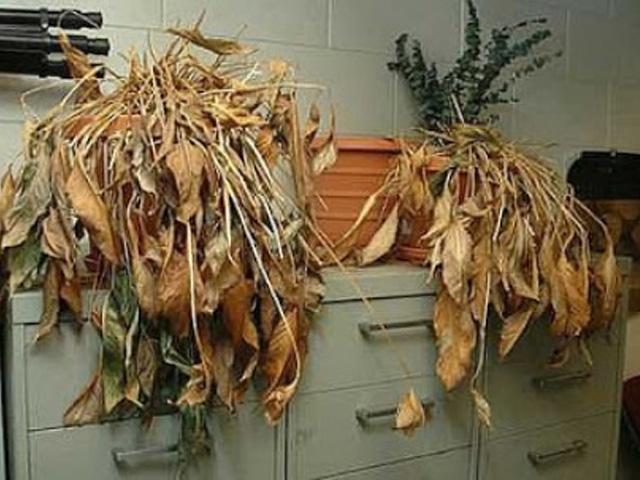 Để cây cảnh đã chết trong nhà hoặc ngoài sân không tốt cho gia chủ