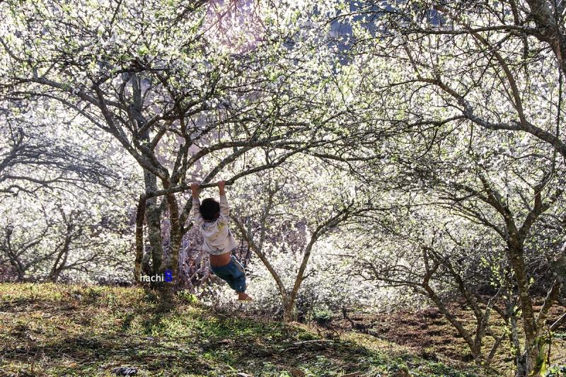 Hà Giang mùa hoa mận nở