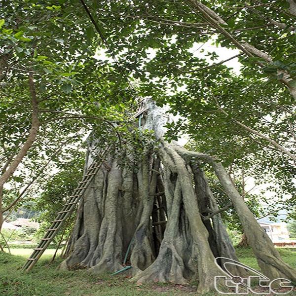 Di tích lịch sử cây đa Tân Trào - Sơn Dương - Tuyên Quang