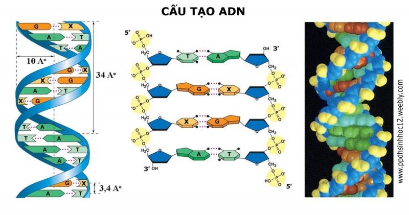 Hình ảnh di truyền trong cấu trúc gen