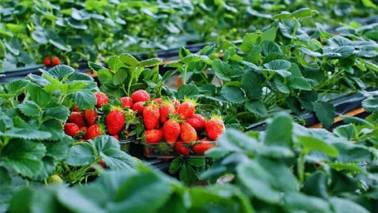 Vườn dâu tây Đà Lạt Phước Lộc