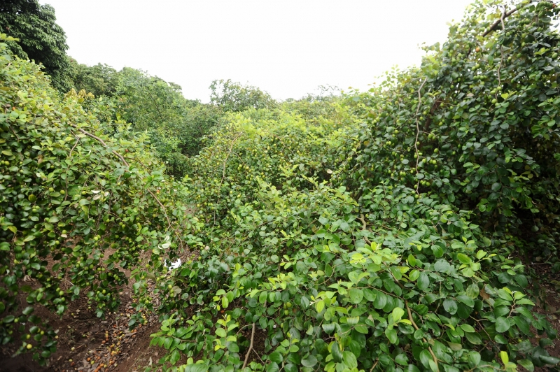 Vườn táo nông nghiệp