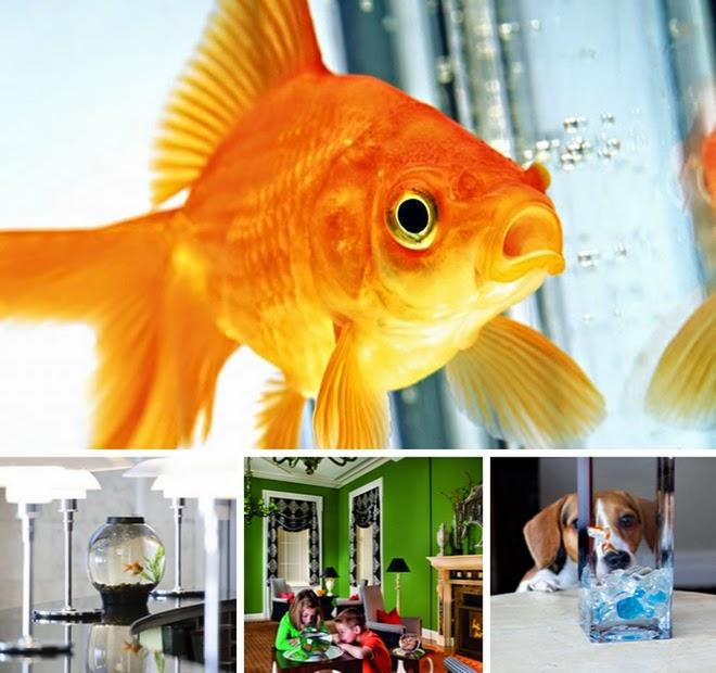 Dịch vụ thuê cá vàng ở chuỗi khách sạn và nhà hàng Kimpton
