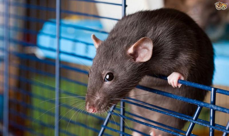 Diệt chuột bằng bột giặt
