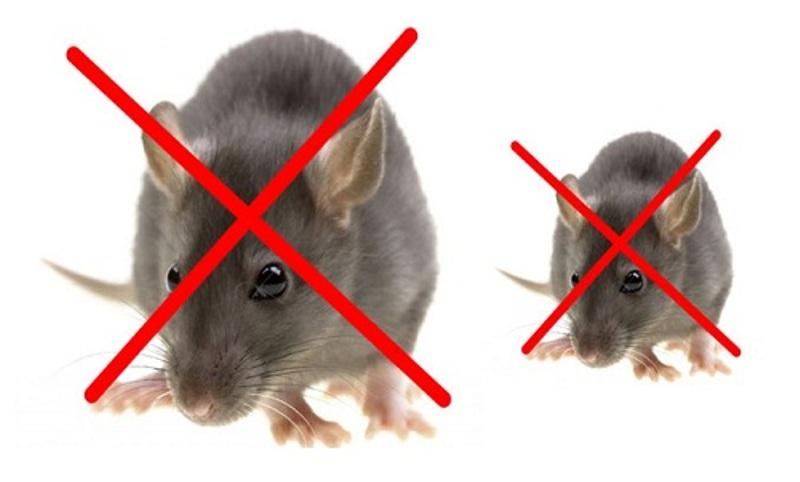 Diệt chuột bằng long não