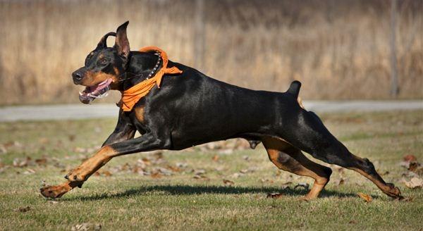 Chúng được sử dụng rộng rãi với vai trò là chó nghiệp vụ hoặc là được nuôi giống như một