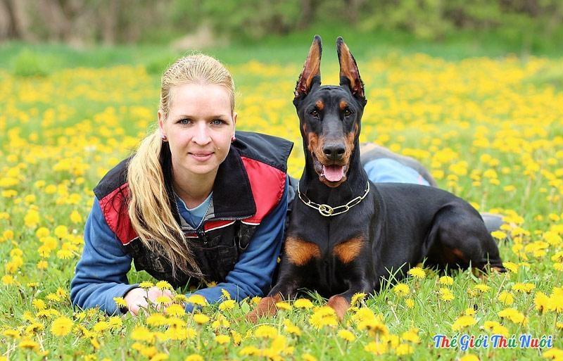 Dobermann - một trong những loài chó cảnh thông minh nhất thế giới