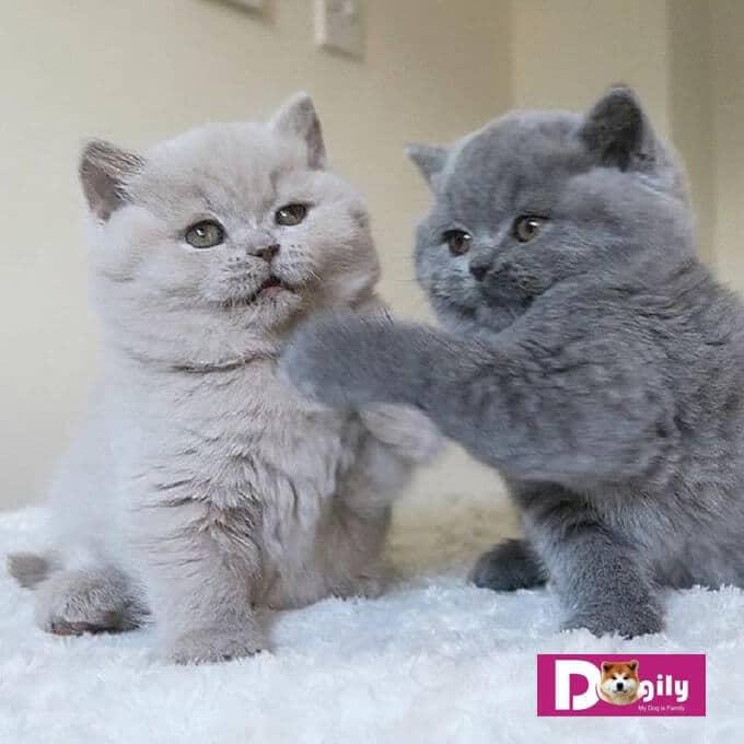Top 7 Địa chỉ phối giống mèo uy tín nhất TPHCM