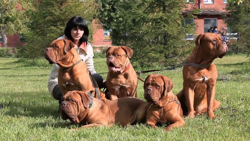 Những chú chó ngao Pháp cùng cô chủ xinh đẹp