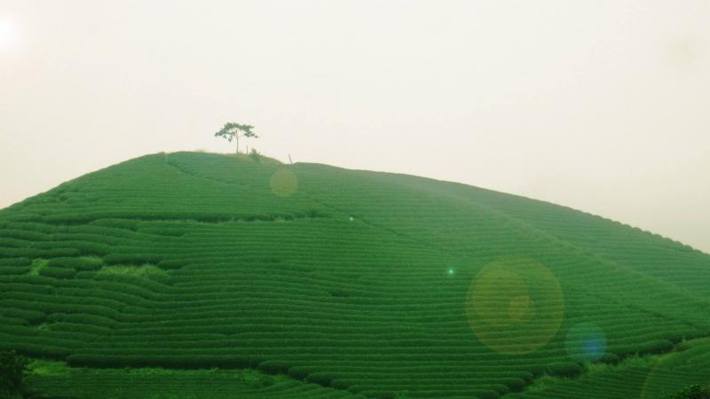 Màu xanh mướt của đồi chè Mộc Sương - Danh thắng của vùng đất cao nguyên