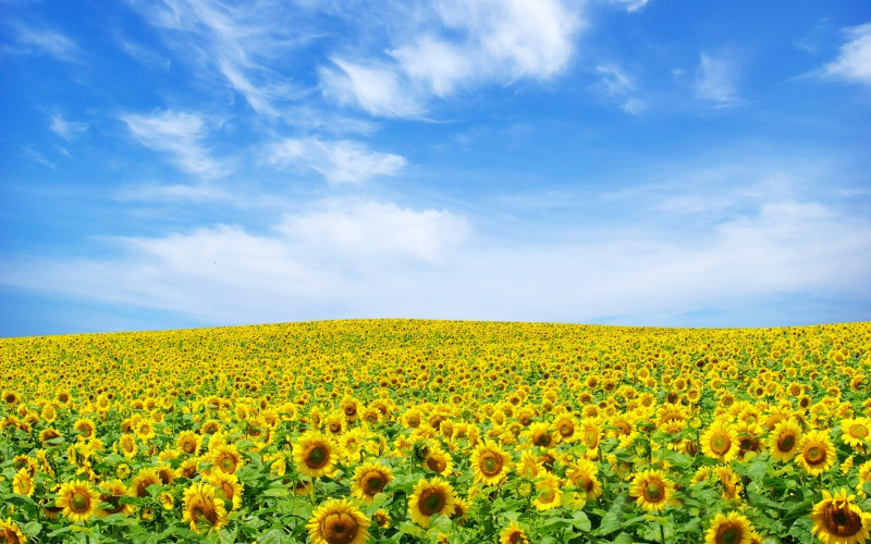 Đồi hoa hướng dương ở huyện Nghĩa Đàn, tỉnh Nghệ An