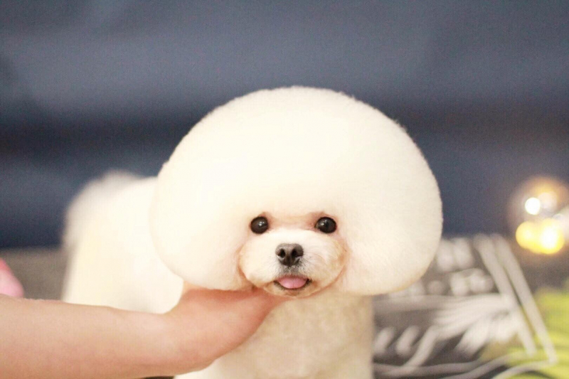 Dolly pet