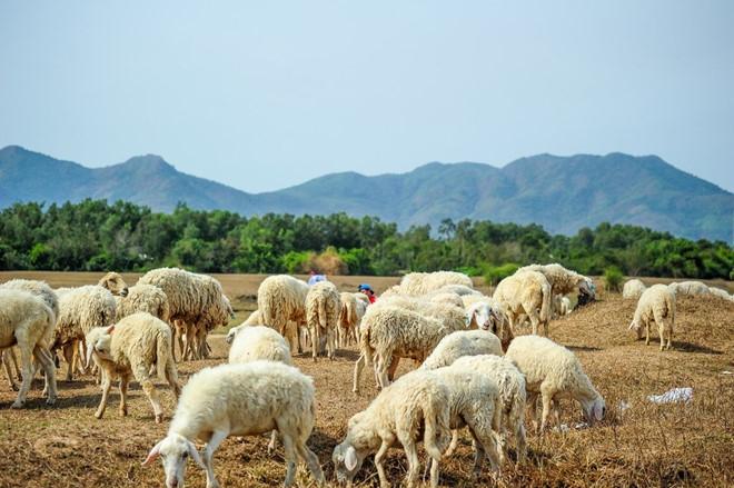 Những chú cừu vô cùng đáng yêu