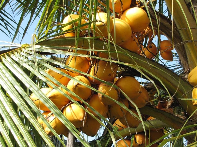 Người dân Nam Bộ ưa thích dùng quả dừa làm vật phẩm cúng tế trời đất và tổ tiên