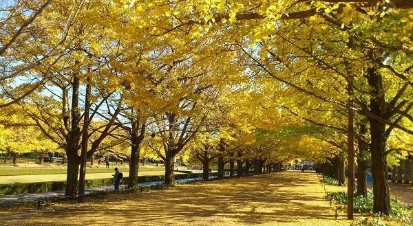 Đường cây bạch quả - Nhật Bản