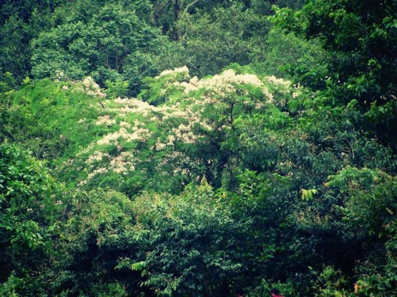 Hoa mai dại nở trắng một góc rừng