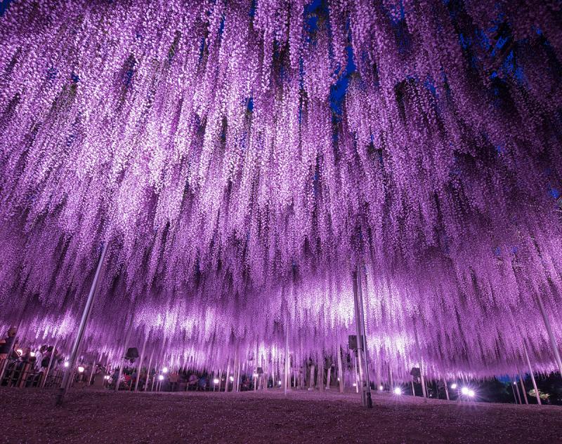Đường hầm hoa Tử Đằng, Nhật Bản