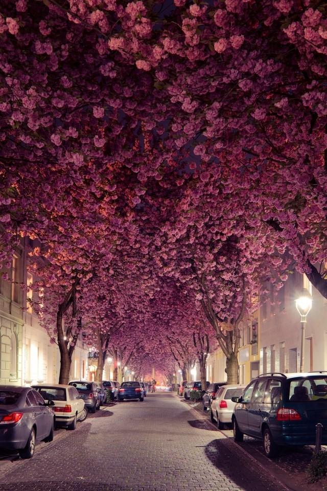 Mùa xuân bước sang cũng là lúc hoa anh đào nở rực che kín thành một mái vòm trên phía đầu
