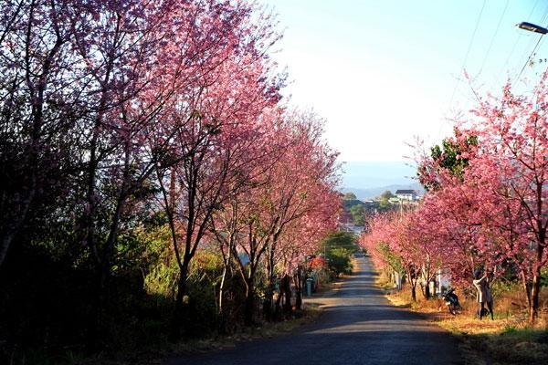 Hoa Mai Anh Đào ở đường Trần Hưng Đạo