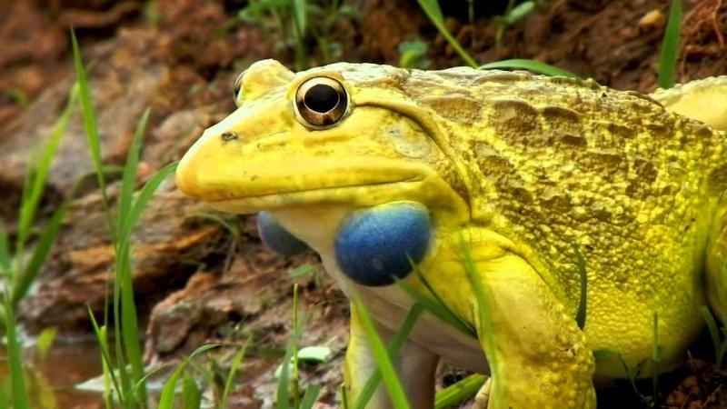 Ếch Ấn Độ – The Indian Bullfrog